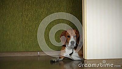 Cão de encontro do lebreiro no tiro video do slider do assoalho da estratificação da casa video estoque