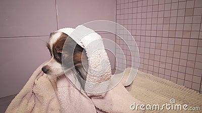 Cão de Papillon na toalha após o banho no vídeo da metragem do estoque do banheiro video estoque