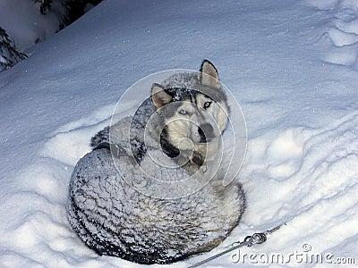 Cão de puxar trenós na neve
