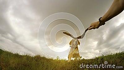 Cão do proprietário que treina seu cão do lebreiro com vídeo do slomotion da vara