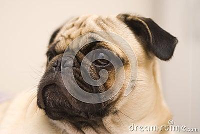 Cão do Pug