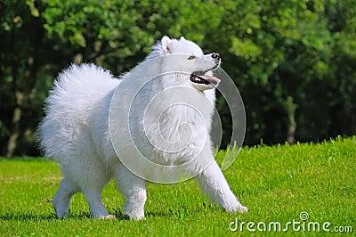 Cão do Samoyed - campeão de Rússia