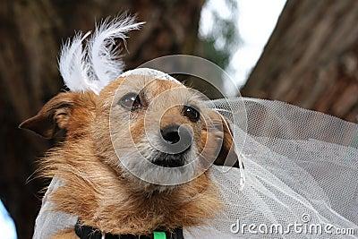 Cão em um véu nupcial