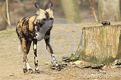 Cão selvagem africano