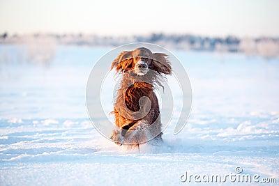 Cão vermelho do setter irlandês
