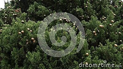 Cônes sur les branches vertes de cyprès clips vidéos