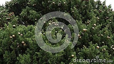 Cônes sur les branches vertes de cyprès banque de vidéos