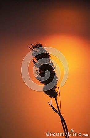 Caña y puesta del sol