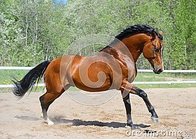 Caballo de bahía de la raza ucraniana del montar a caballo
