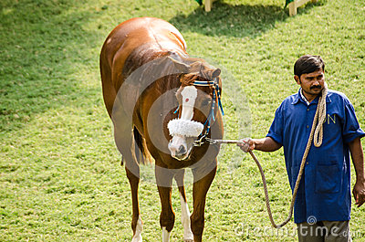 Caballo de carreras indio con Bindi Imagen editorial