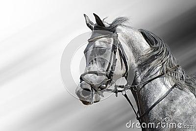 Caballo árabe Dapple-gris