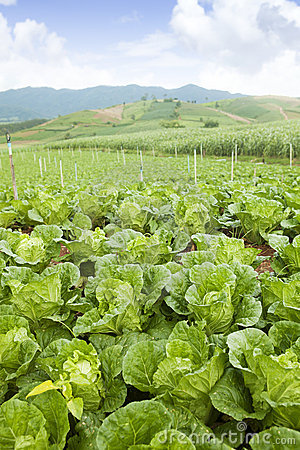 Cabbage on an agriculture field