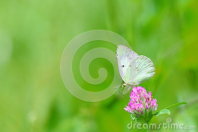 Cabbage butterflies on a red clover