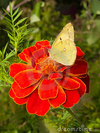 Free Cabbage Butterfly On Flower Stock Photos - 3388733