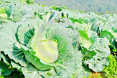 Cabbage field on the hill and mountain background