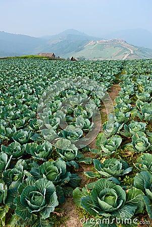 Cabbage field in thailand