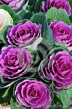 Free Cabbage Flowers Royalty Free Stock Photography - 27125547
