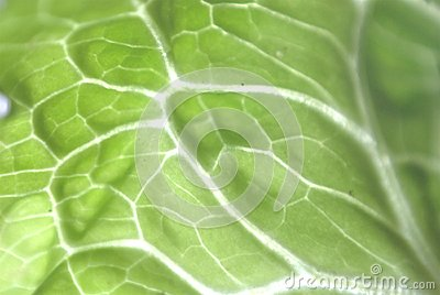 Cabbage leave