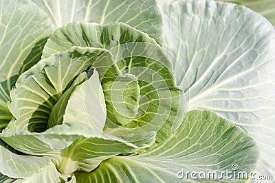 Cabbage mustard