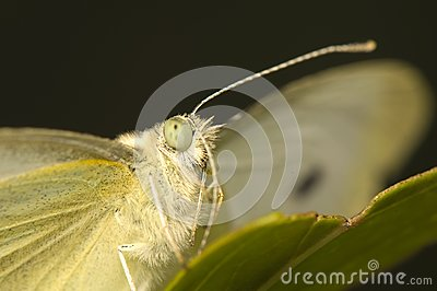 Cabbage pieris