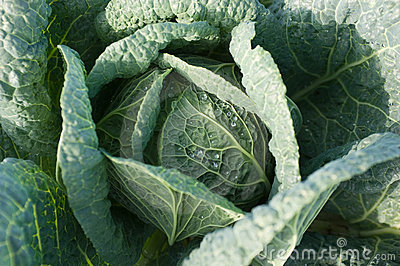 Cabbage s Head with Leafs