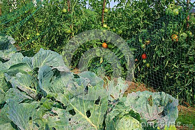 Cabbage and tomato beds