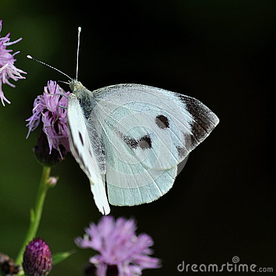 Free Cabbage White Butterfly.  Pieris Brassicae Royalty Free Stock Photography - 36295507