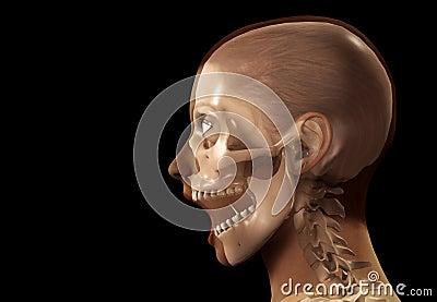 Cabeça da raia da fêmea X