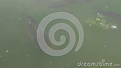 Cabeça de peixe na superfície da água video estoque