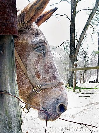 Cabeça da mula