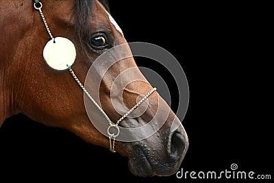 Cabeça de cavalo árabe