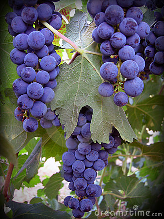 Free Cabernet Grapes Royalty Free Stock Photos - 1777018