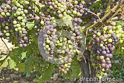 Cabernet Sauvignon Grapes Hanging on the Vine