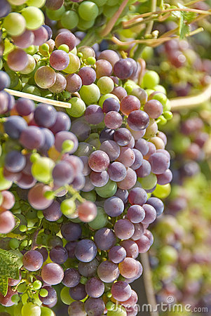 Cabernet Sauvignon Grapes Hanging on the Vine