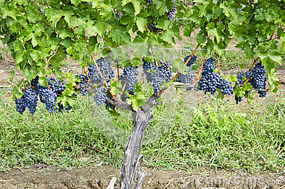 Cabernet Sauvignon Red Wine Grapes on the Vine #2