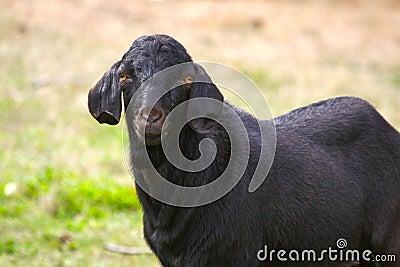 Cabra anglo-Nubian