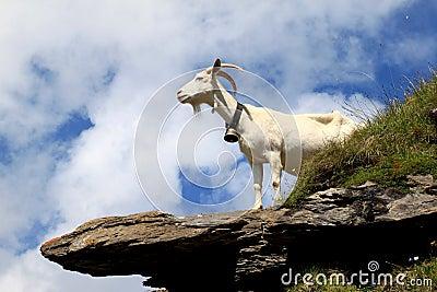 Cabra blanca en las rocas en las montañas suizas