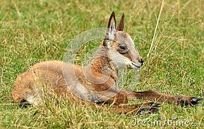 Cabra-montesa do bebê