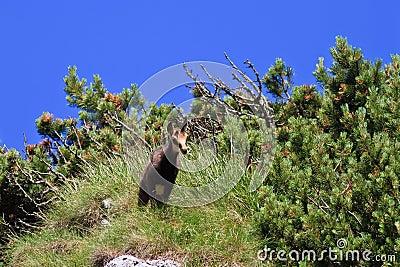 Cabra-montesa do miúdo