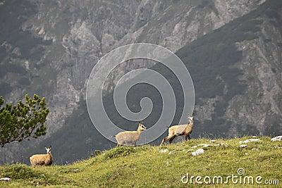 Cabra-montesa nova