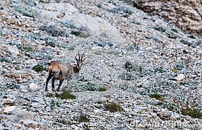 Cabra-montesa (rupicapra do Rupicapra)