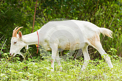 Cabra que come la hierba