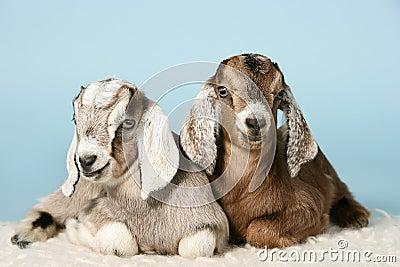 Cabras jovenes anglo-nubian en las lanas