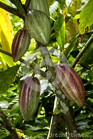 Free Cacao Fruits Royalty Free Stock Images - 25526869