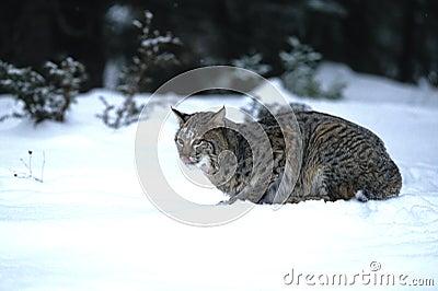 Caccia del gatto selvatico nella neve