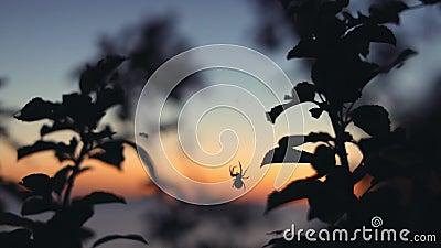 Caccia del ragno al tramonto summertime stock footage