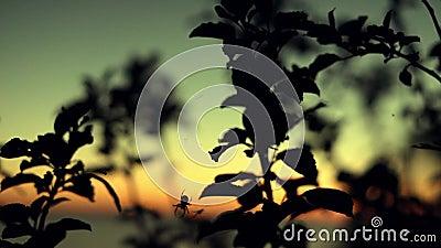 Caccia del ragno al tramonto summertime archivi video