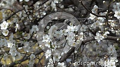 Cacerola lenta de ramas de un ?rbol florecientes con las flores de la primavera almacen de video