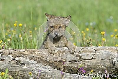 Manada: Guardianes del bosque - Página 23 Cachorro-de-lobo-thumb5884491