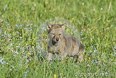 Cachorro de lobo gris
